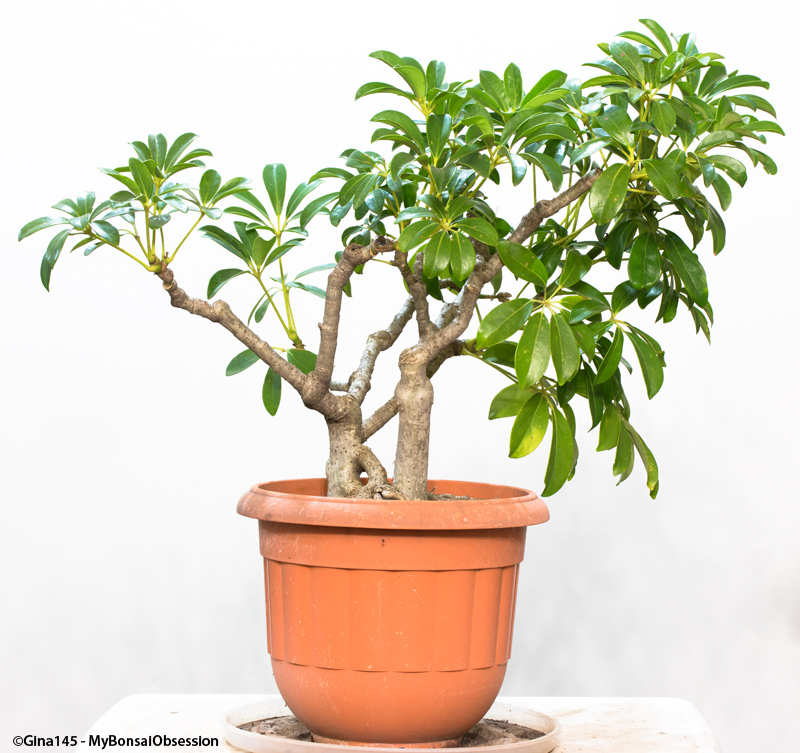 Prime My Bonsai Obsession A Little Wire Makes A Big Difference Wiring Digital Resources Sapebecompassionincorg