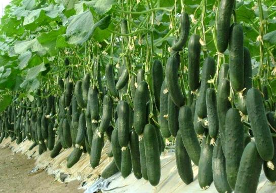 Cara budidaya menanam mentimun agar buahnya banyak