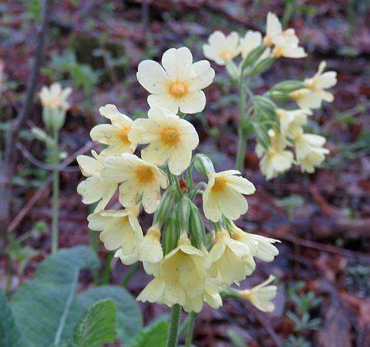 Pierwiosnek wyniosły (Primula elatior (L.) Hill.).