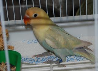 lovebird parblue standar pastel