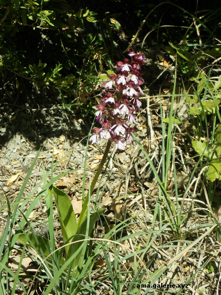 orchis, alpes de haute provence ama galerie.xyz