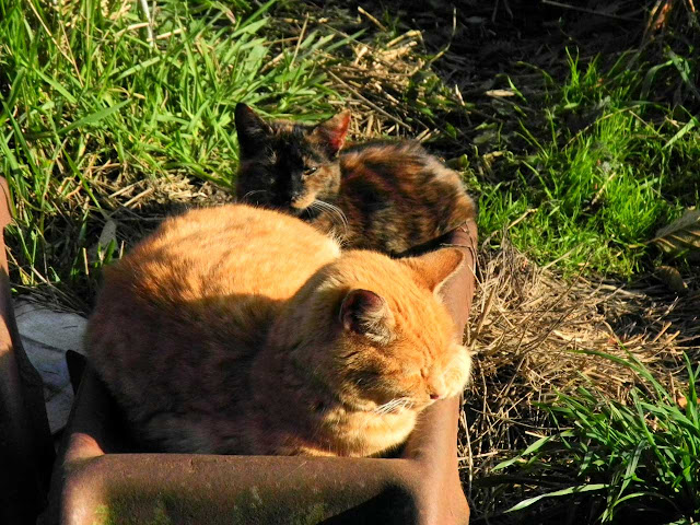 two feral cats nap in the sun