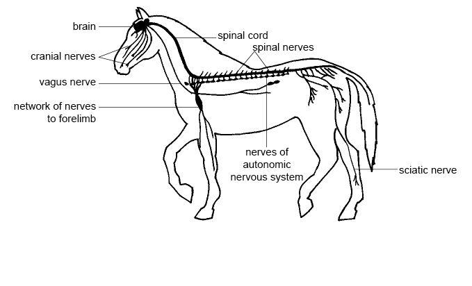 horse life and love  all about       the horse u0026 39 s nervous system