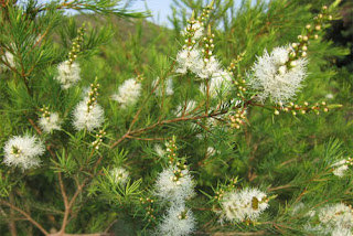 Fresh Tea Tree prior to processing into essential oil