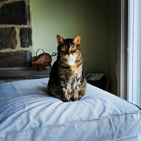 image of Sophie the Torbie Cat sitting on a chaise, looking at me