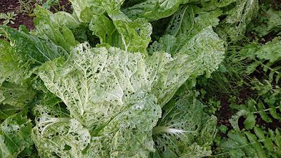 無農薬栽培の白菜の外葉は穴だらけ