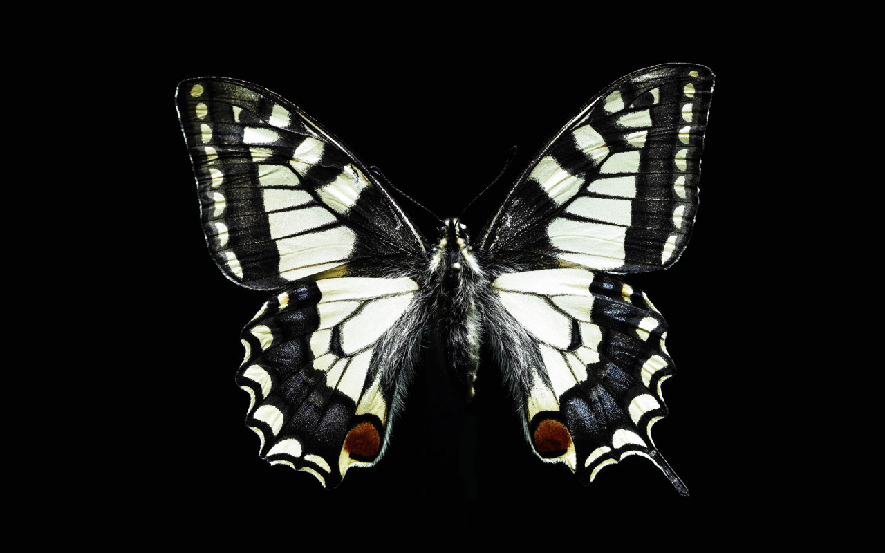 Black and white butterfly wallpaper |Funny Animal