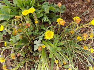Απρίλιος: Βότανα και φαρμακευτικά φυτά της Ελλάδας-Βήχιο-Tussilago farfara
