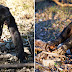 Meet Kanzi, the amazing 35-year-old bonobo who can start a fire and cook
