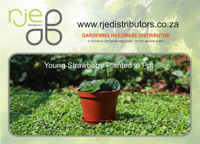 Young strawberry planted in pot - RJE Distributors