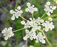 Kimyon bitkisi çiçekleri