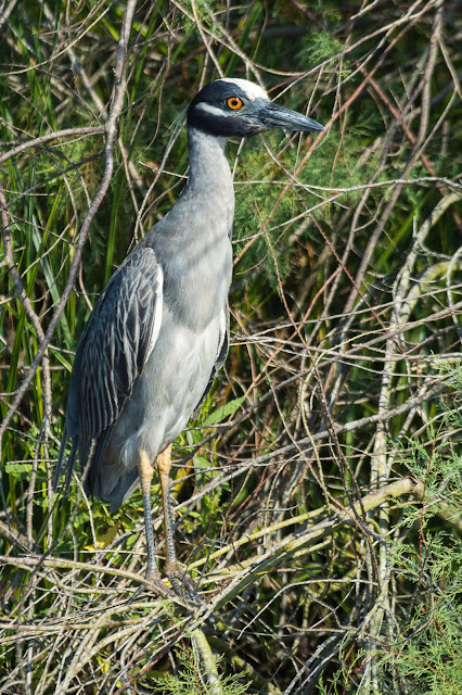 Yellow-crowned Night-Heron, Pelican Island