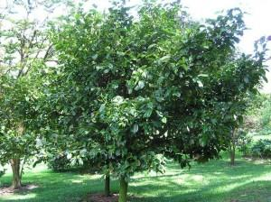 Garcinia%2Bindica%2Btree.jpg
