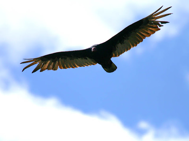 "Figure 6: The flat wings of a Turkey Vulture are held in a dihedral (shallow 'V'). The leading edge is rather straight. Notched primaries create a ""fingered"" appearance."
