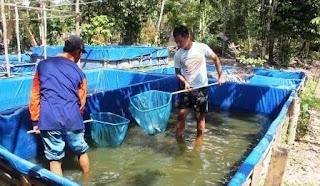 Panen Ikan di Kolam Terpal - Cara Budidaya Ikan
