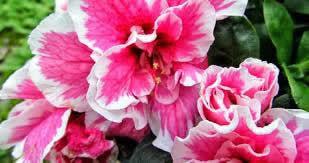 kış-çiçekleri-açelya
