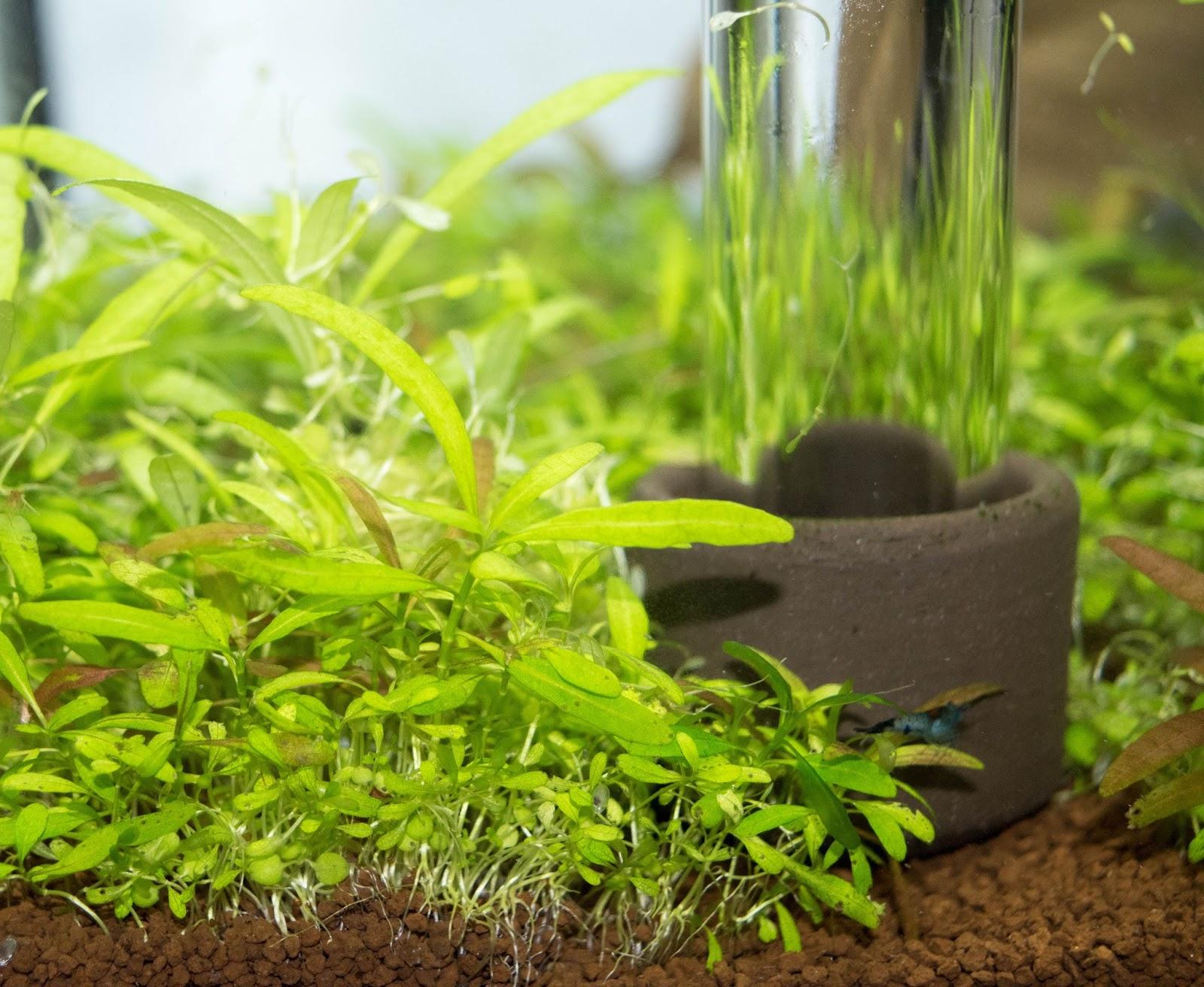 Aquarium Pflanzen Samen Einpflanzen Pflanzen Samen Kaufen Teich