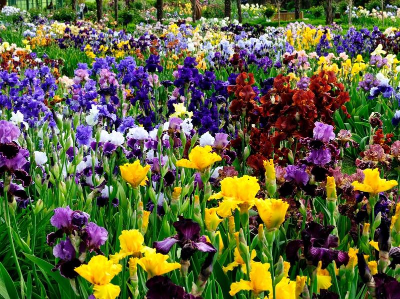 Iris (lirios) de diferentes colores