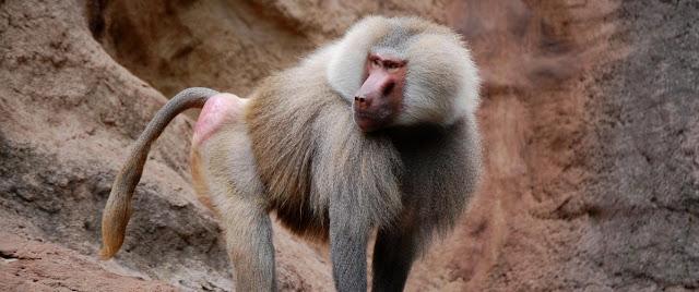 Babuino y primates