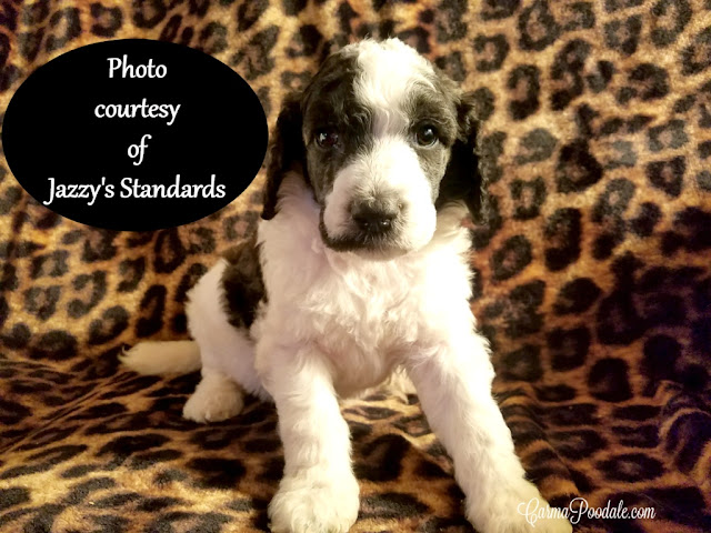 black and white parti poodle pup in front of cheetah background