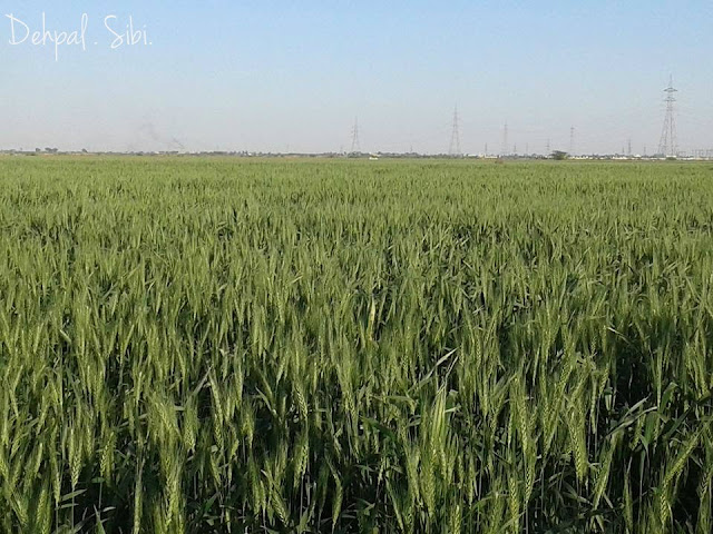 Dehpal Agriculture field
