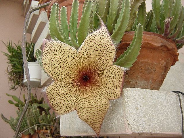 stapelia varieties flower care guide