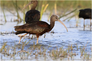 https://bioclicetphotos.blogspot.fr/search/label/Ibis%20falcinelle%20-%20%20Plegadis%20falcinellus%20ETP