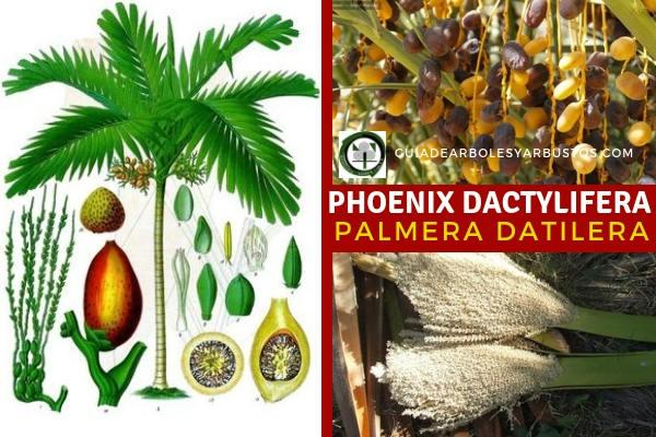 Phoenix dactylifera, Palmera Datilera, son tenidas en cuenta a la hora de planificar una reforestación lógica