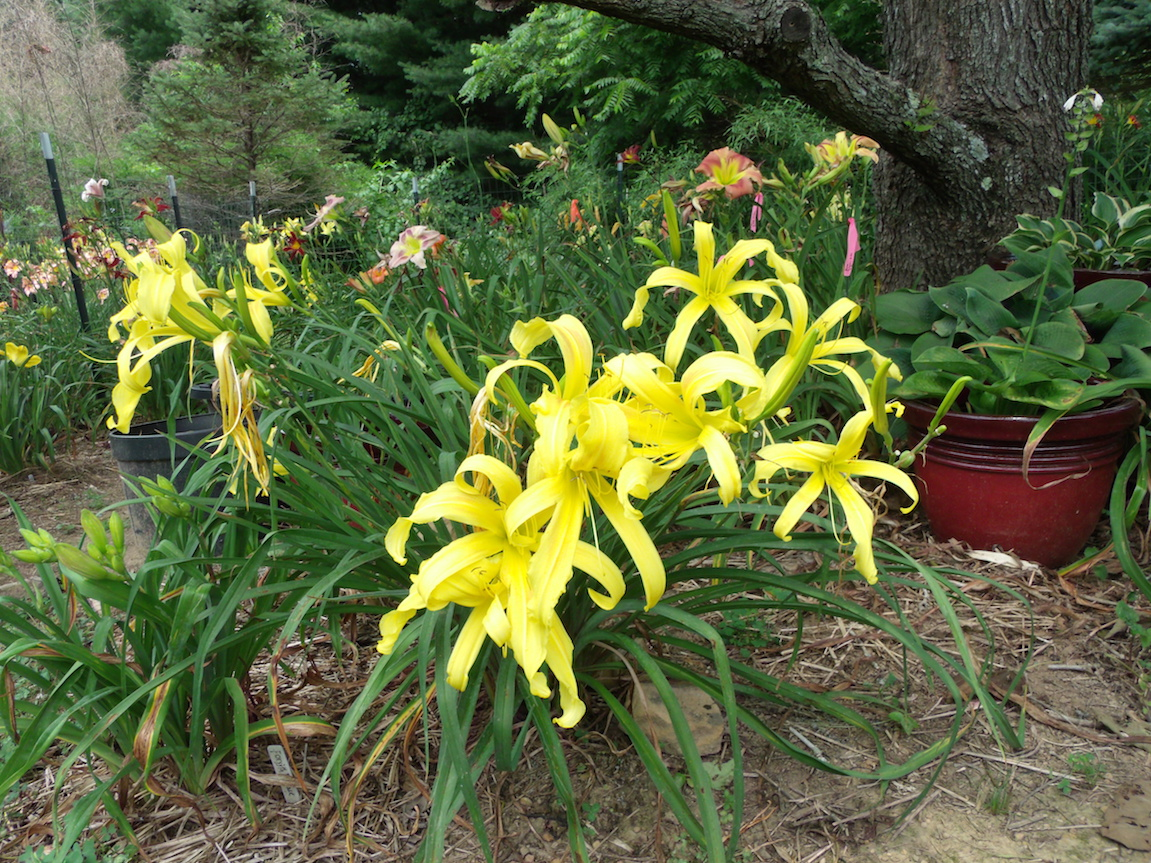 Sun dragon daylilies blog growing daylilies part 2 uses of uses of daylily colors in the landscape izmirmasajfo