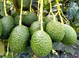 Поставщик авокадо (оптом) цена в Волгограде