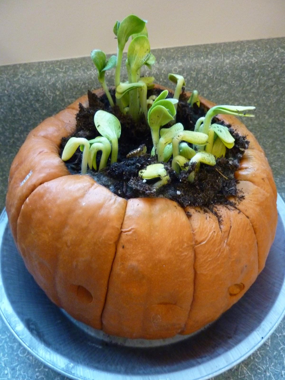 Little Learning Wonders The Pumpkin Experiment