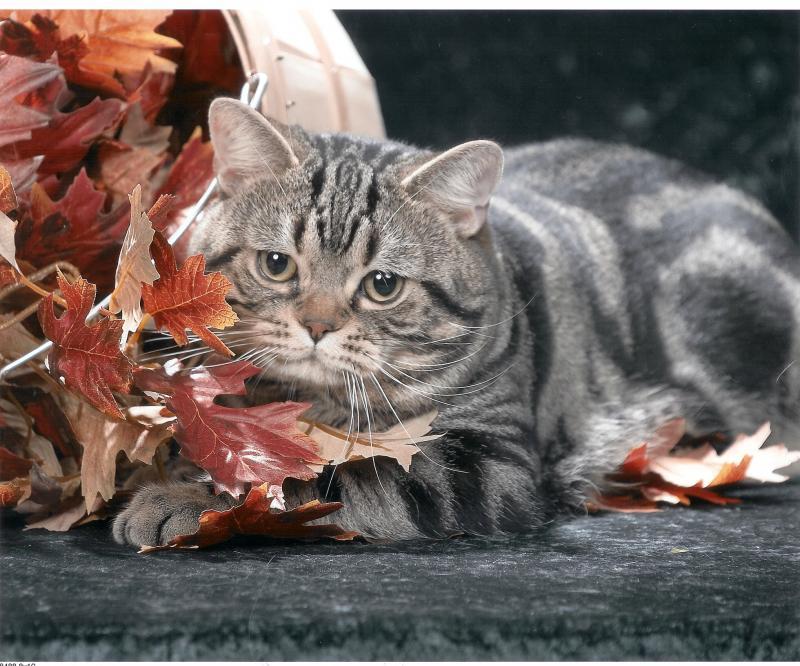 American-shorthair-cats-healthiana