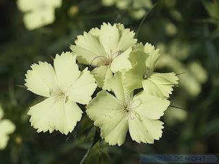 Oeillet de Knapp - Oeillet à fleurs jaunes - Dianthus knappii