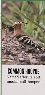Common Hoopoe