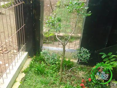 FOTO 2: Pohon Serut saya di pojok taman mungil saya.   Saat umur 2 tahunan