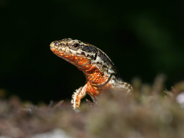 Two genes explain variation in colour and behaviour in the wall lizard