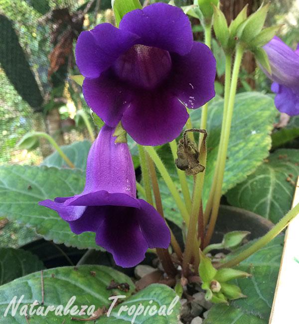 Flores de una Gloxinia