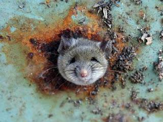 Tikus Jadi Penagih Dadah