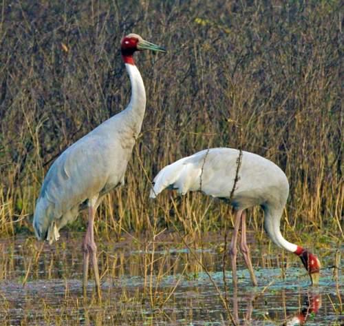 Birds of India - Sarus crane - Antigone antigone