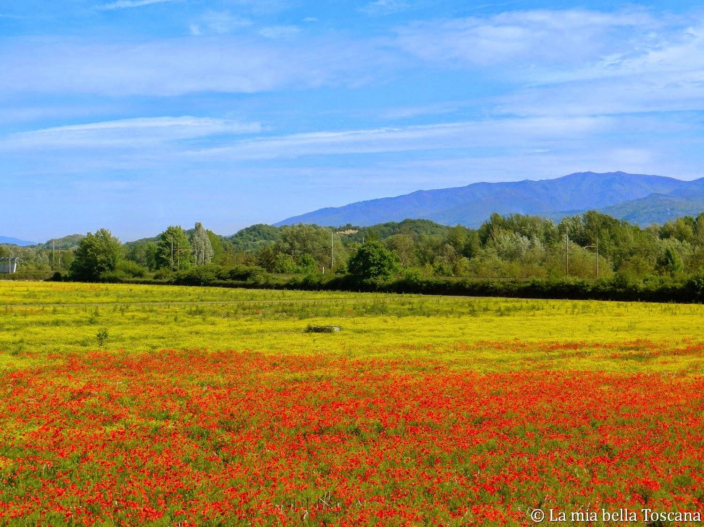 Fiori Gialli Nei Campi.I Fiori Di Primavera Nella Valle Dell Arno La Mia Bella Toscana