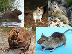 Os roedores (do latim científico Rodentia) constituem e mais numerosa ordem de mamíferos