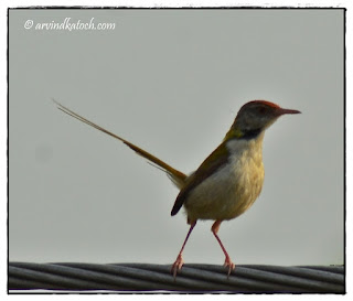 Common Tailorbird, Looking,