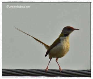 Common Tailorbird, Looking,