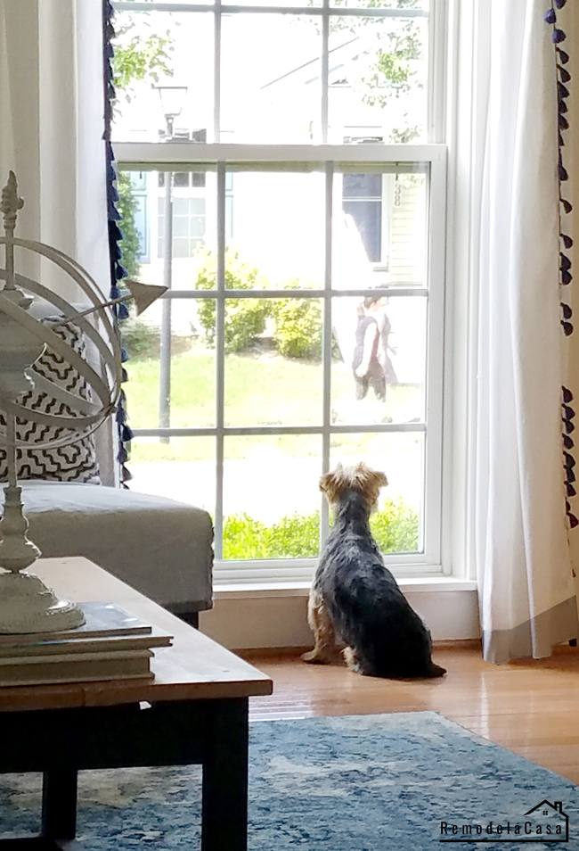 Yorkshire Terrier looking through the window