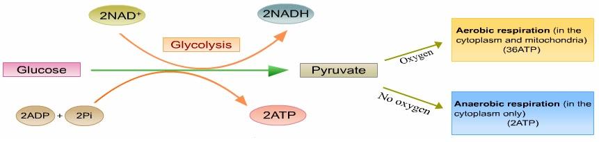 anaerobic respiration fermentation pyruvate biology cytoplasm nadh causes form nad