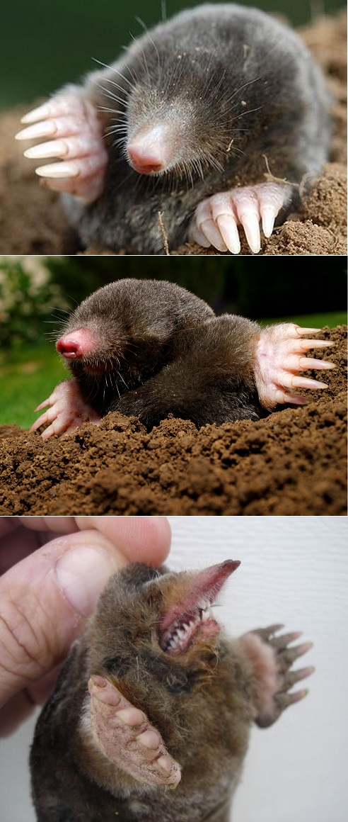 How To Get Rid Of Moles 101 Gardening