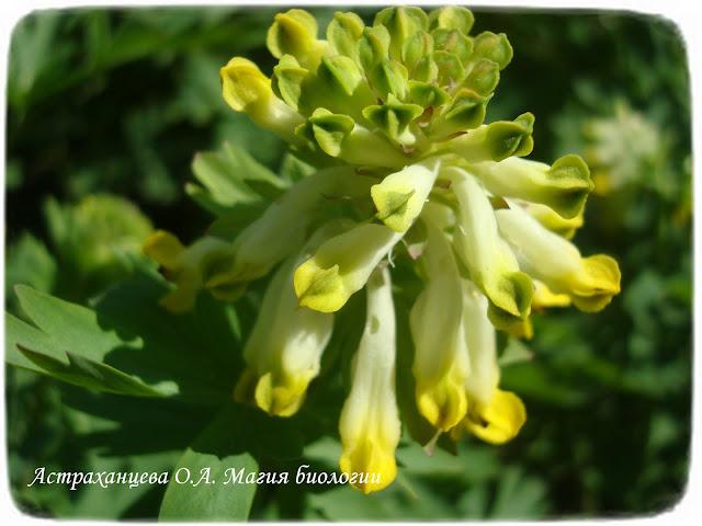 большая хохлатка весенний цветок первоцвет, желтый цветок
