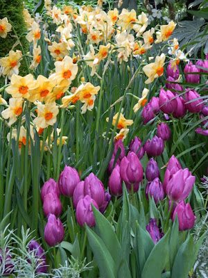 Purple tulips and apricot daffodils at the 2018 Allan Gardens Conservatory Spring Flower Show by garden muses-not another Toronto gardening blog