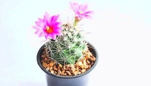 Tipos De Cactus Pequeños