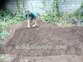Cara Menanam Kacang Tanah yang Benar